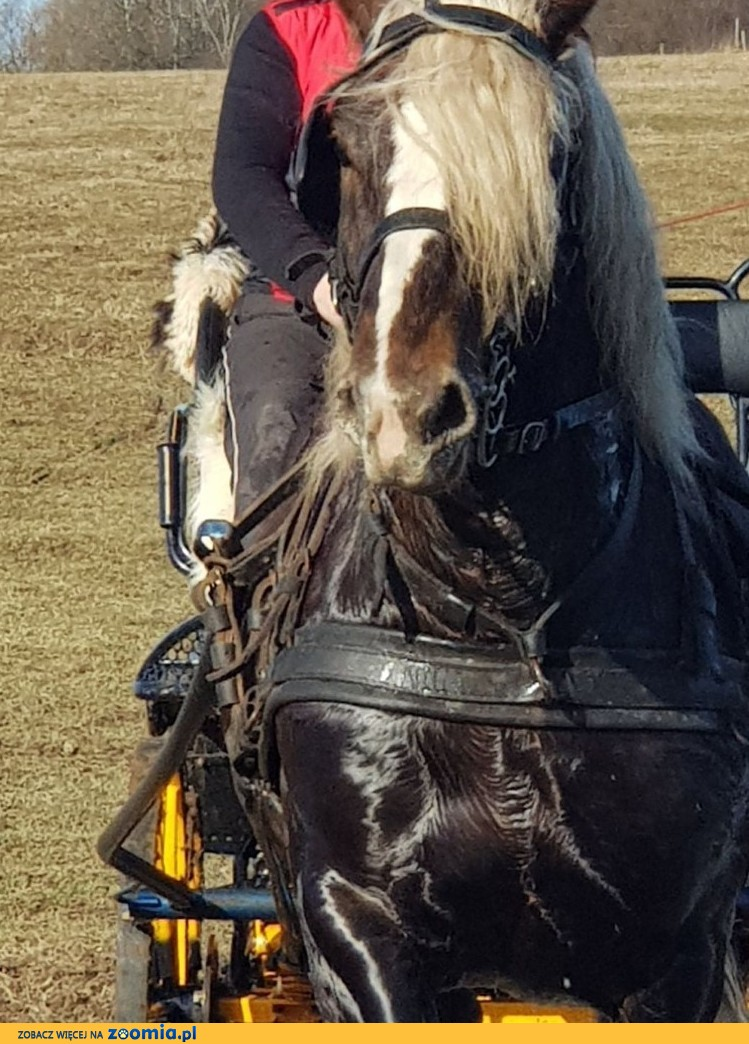 Konia sprzedam