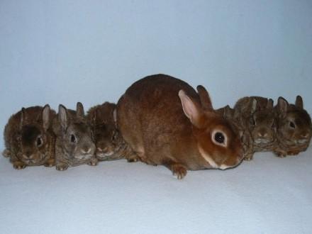 króliki kastoreks miniaturowy królik miniaturka