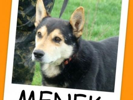Husky mix  pies MENEK  przyjacielski spokojny grzecznyAdopcja   wielkopolskie Poznań