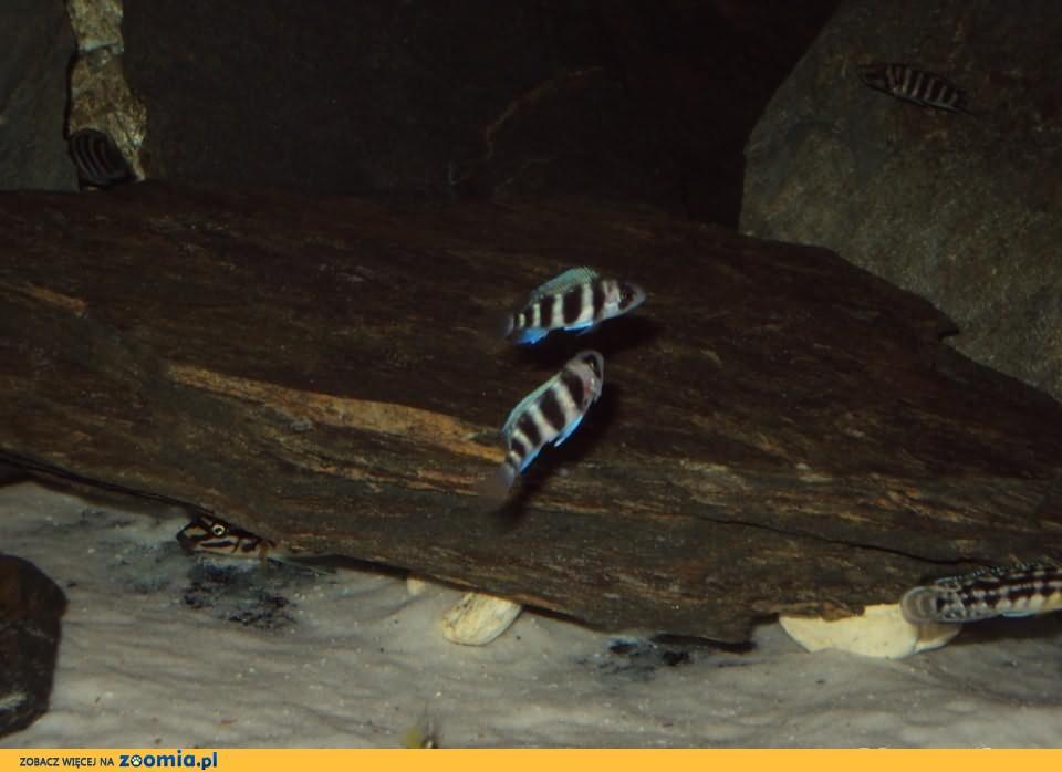 Cyphotilapia Frontosa Burundi