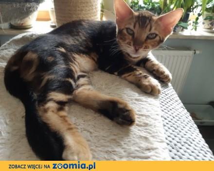 Bengalski kot- nowa miłość potrzebna od zaraz