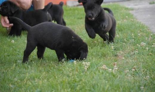 Labrador szczenięta,  Labrador retriever cała Polska