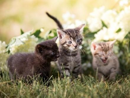 Urocze kocięta szukają bezpiecznych  niewychodzących domów!