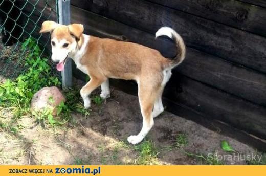 Do adopcji - śliczna sunia Steffi,  wielkopolskie Poznań