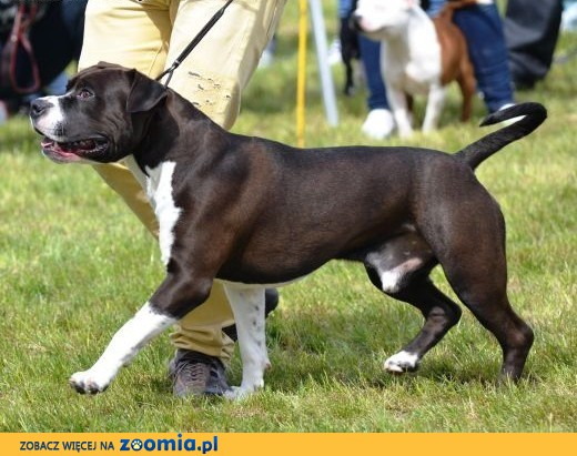 Reproduktor American Staffordshire Terrier (AMSTAFF) FCI ZKwP,  mazowieckie Piaseczno