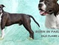 'Reproduktor American Staffordshire Terrier (AMSTAFF) FCI ZKwP,  mazowieckie Piaseczno