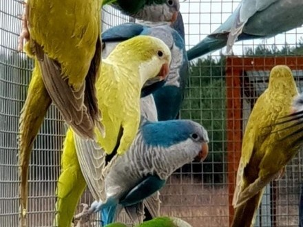 Mnicha nizinna mnichy nizinne papuga młoda do oswojenia w różnych mutacjach można nauczyć je mówić