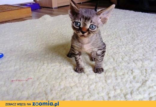Kocięta Devon Rex,  śląskie Jastrzębie-Zdrój