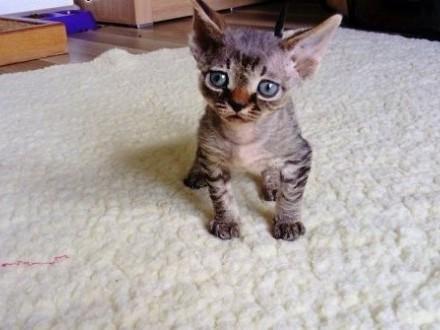Kocięta Devon Rex   śląskie Jastrzębie-Zdrój