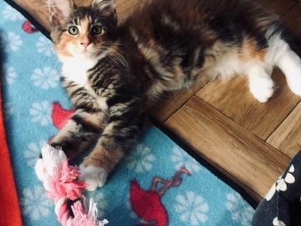 Kotka Maine Coon - piękna szylkretka !   Koty maine coon cała Polska