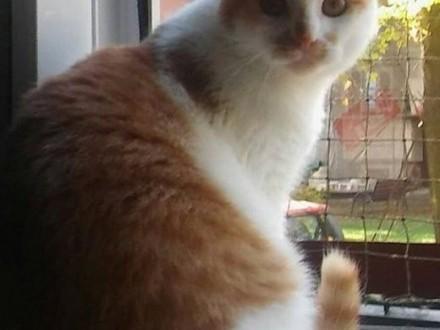 Rudy kociak adopcja   śląskie Gliwice