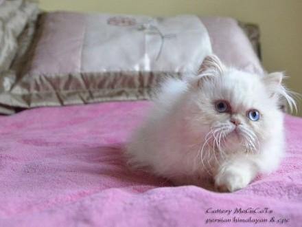 Kocięta perskie colourpoint