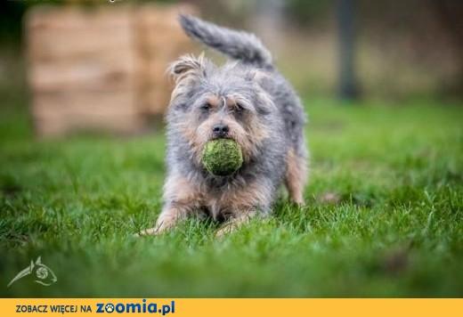 SCOOBY - malutki mądrala urokiem zniewala!,  dolnośląskie Wrocław