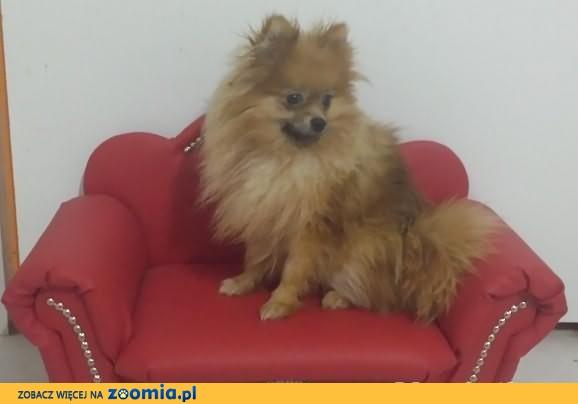 Pomeranian 6mcy szpic miniaturowy BOO rodowód k/Warszawa
