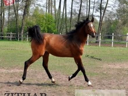 Konie Oferty Na Zoomiapl Pl 79