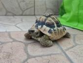 Żółw grecki i terrarium
