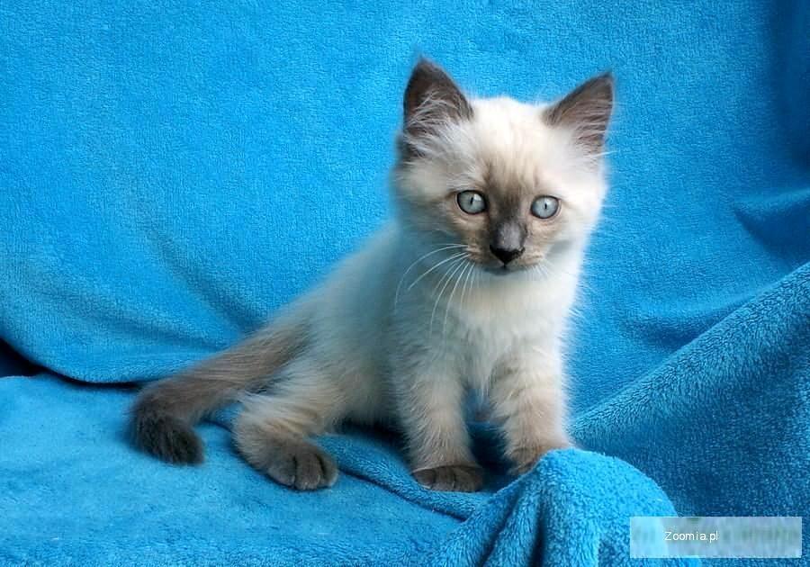 Piękne niebieskookie kociaki do odbioru we wrześniu