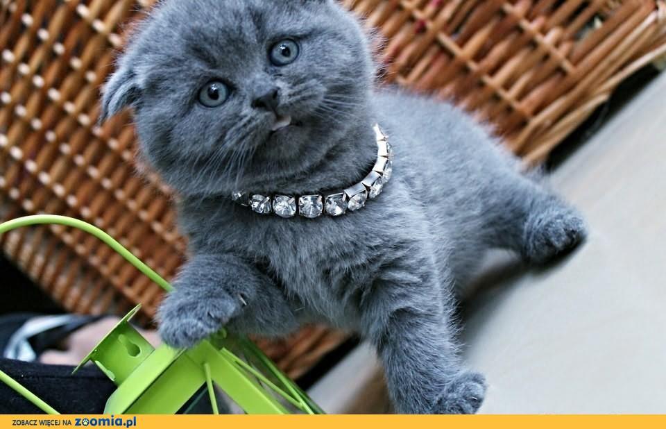 Szkockie Zwisłouche Kocięta Z Rodowodem Wcf Other Breed Cats