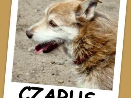 8 kg  szorstkowłosy jamnikowaty spokojny pies CZARUŚAdopcja   mazowieckie Warszawa