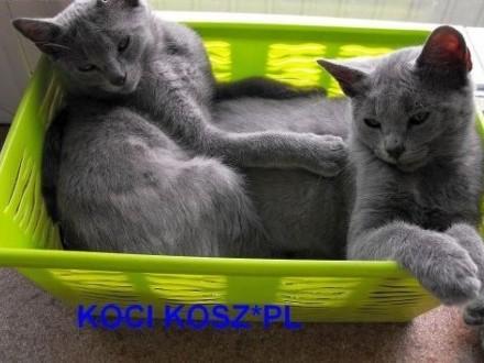 Koty-kartuskie- Chartreux KOCI KOSZ*PL,  Pozostałe cała Polska