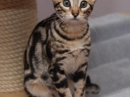 Młode koty rasy Savannah - F1  F2  F3  F4  F5    śląskie Katowice