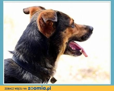 Duży  do domu z ogródkiem  przyjazny spokojny pies PAZUR_Adopcja