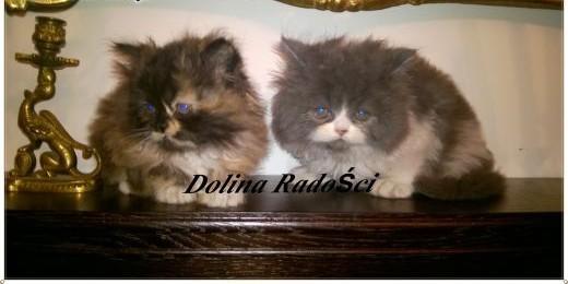 Koty Perskie Perxy   łódzkie Radomsko