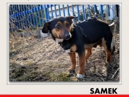 Rodzinny mały domowy łagodny tulaśny piesek SAMEK kocha ludziPILNE   śląskie Katowice