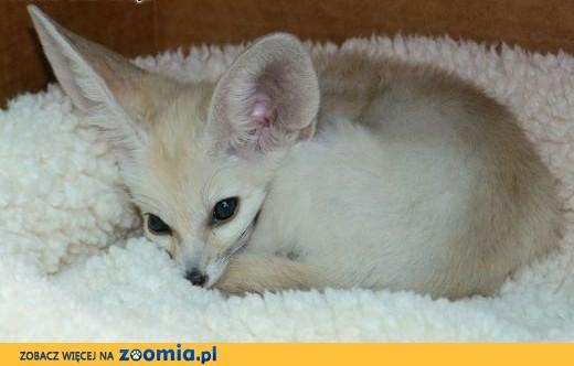 Kremowe i złote kolory Fennec fox , 4 chłopców i 2 dziewczynki w Poznaniu.,  Pozostałe cała Polska