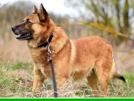 Średni 15 kg spokojny  łagodny  rudy psiak RUBIK_Adopcja