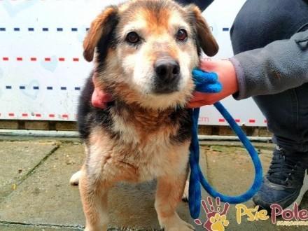GRAMMY-Niewielki podpalany starszy psiak szuka kochającej rodziny  adopcja