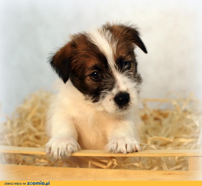 Jack Russell Terrier- śliczny, szorstkowłosy piesek z rodowodem FCI