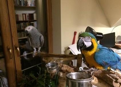 Papugi do sprzedania
