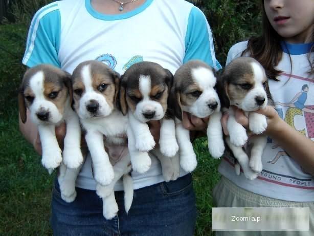 Beagle-szczenięta rodowodowe po Championie z Danii