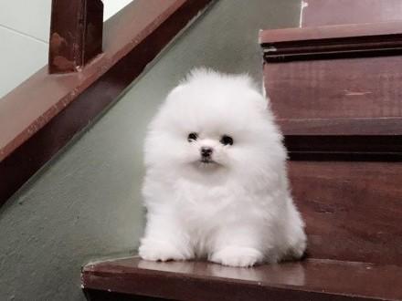 Pomeranian-BOO-Szpic miniaturowy-szczenięta