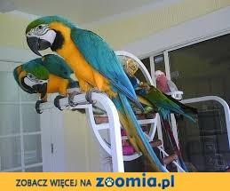 138_5000 Niebieski i Złoty Macaw na sprzedaż