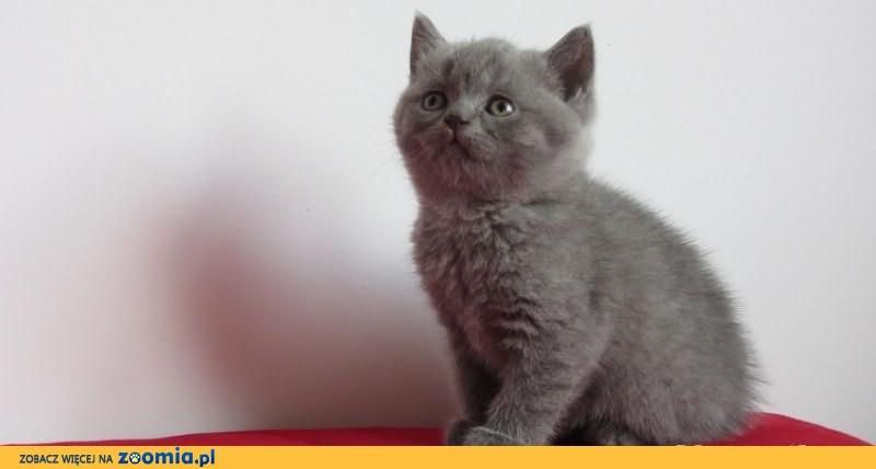 Kot.Koty,Kocięta Brytyjskie z Rodowodem (Niebieskie i Liliowe)