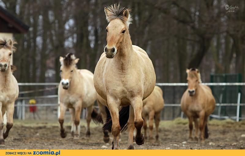 Sprzedam konie rasy fiordzkiej z bardzo dobrym pochodzeniem