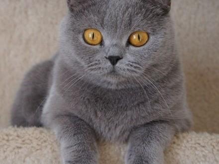 Kupię kota brytyjskiego (symboliczna kwota)