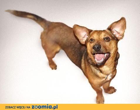 Iksik, niewielki, rodzinny psiak szuka domu