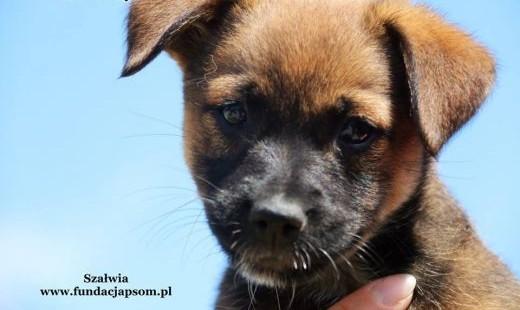 Szałwia - szczeniak szuka domu   mazowieckie Nowy Dwór Mazowiecki