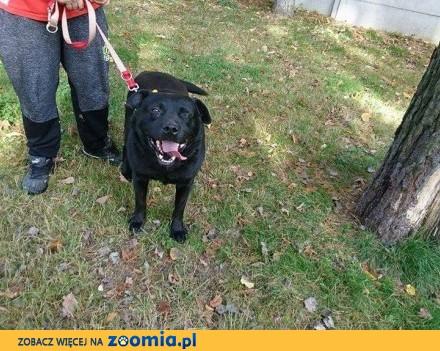 Kotlet  pies w typie labradora szuka kochającego domku_