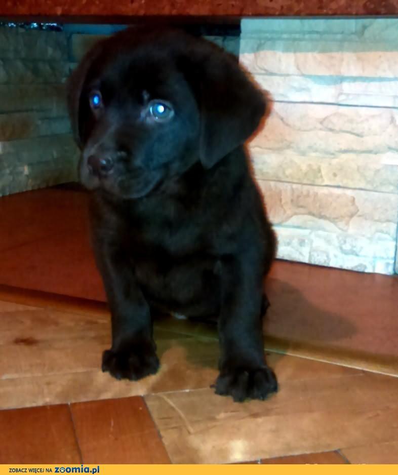 Labrador czekoladowy piesek szczeniaczek