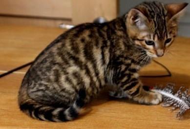 Brązowe słodkie kocięta Toyger