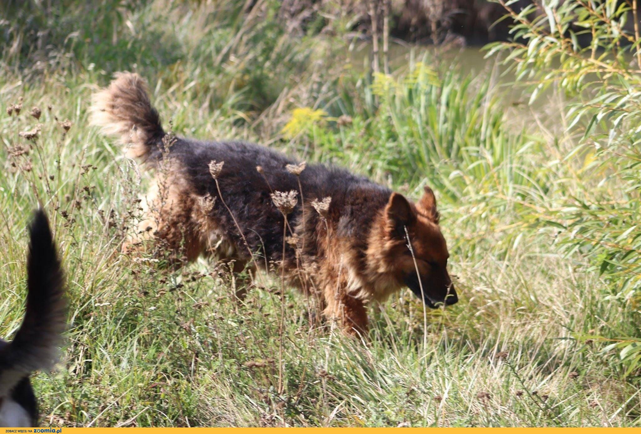 Hugo - 5 letni piękny, dostojny pies w typie owczarka!