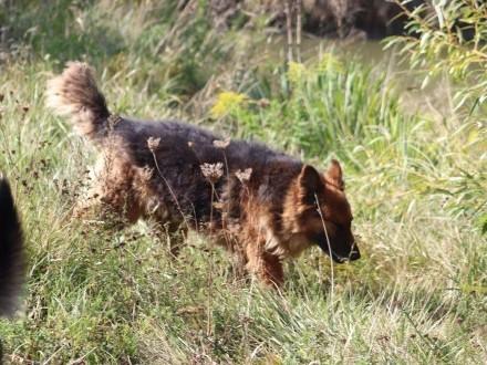 Hugo - 5 letni piękny  dostojny pies w typie owczarka!