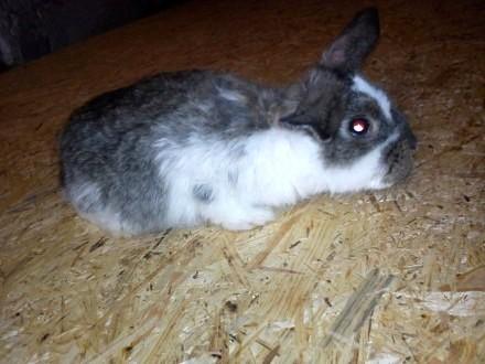 Królik króliki baran francuski młode 5-mcy