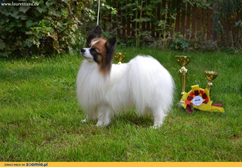 szczeniak PAPILLON spaniel miniaturowy po Championach rodowód FCI