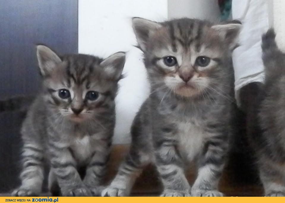 Kocięta Syberyjskie z rodowodem WCF - rezerwacja