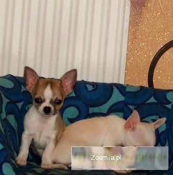 Chihuahua wyjatkowo malenki piesek -rodowod FCI